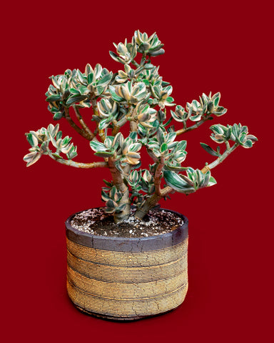 Variegated Jade (Crassula ovata) pruned and sculpted into a bonsai shape, potted in custom Com Work pottery and photographed at Tula Plants & Design.