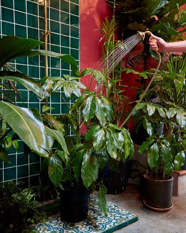 A Tula Plants & Design employee waters an umbrella tree (Schefflera amate) in the store's green tile shower.
