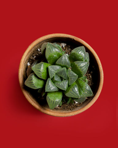 Haworthia mirabilis, a rosette of thick, green leaves that are vaguely translucent, photographed at Tula Plants & Design.