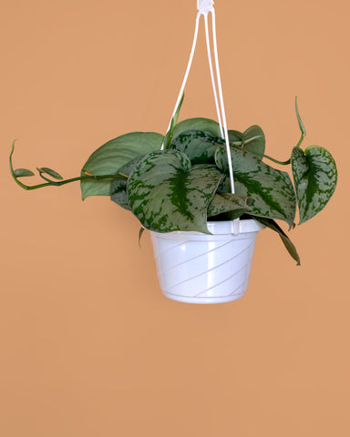 Scindapsus Pictus, or silver satin pothos, photographed in a hanging basket at Tula Plants & Design.
