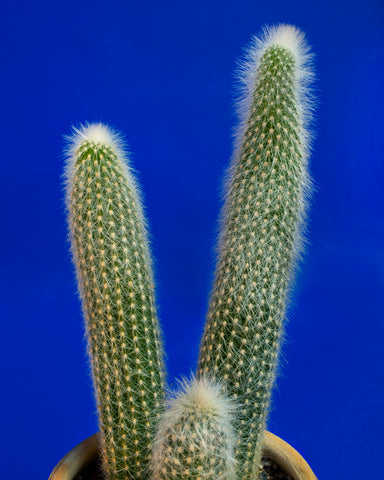 Cleistocactus strausii, a totem cactus lightly covered in white fuzz, photographed at Tula Plants & Design.