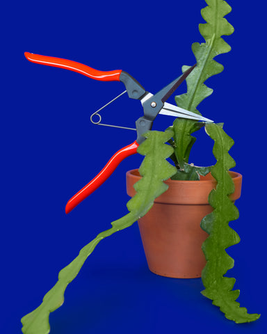 A ric rac cactus (Epiphyllum anguliger) alongside Niwaki Garden Snips, both for sale online at Tula Plants & Design.