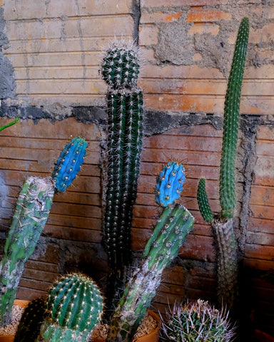 Several mother cactus plants with new growth for sale at Tula Plants & Design to celebrate Mother Plant's Day.