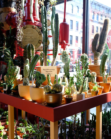 Cacti like Myrtillocactus and Echinocereus at Tula Plants & Design receive direct sun on a hot August day in Brooklyn.