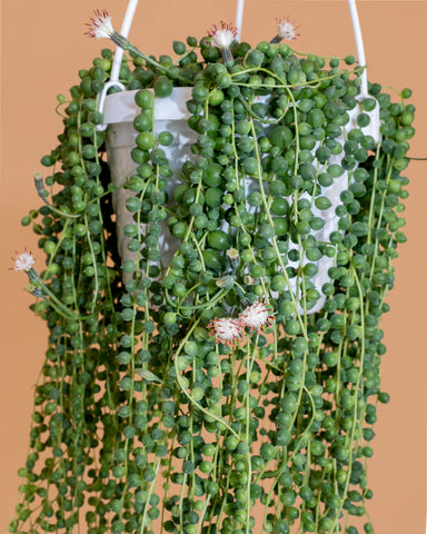 Senecio rowleyanus, or String of Pearls, photographed in a hanging basket at Tula Plants & Design.