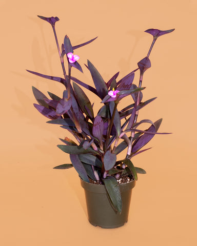 Tradescantia pallida, a vining purple tropical plant, for sale at Tula Plants & Design.
