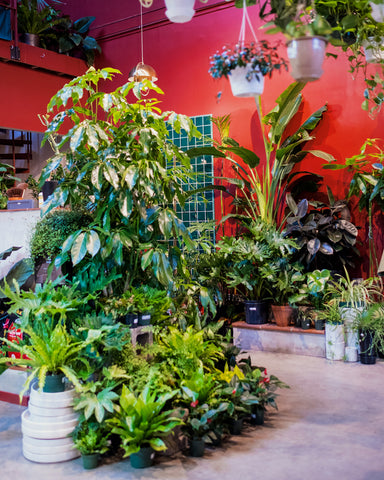 A selection of tropical, summer-growing plants at Tula Plants & Design, including Umbrella Tree (Schefflera amate), Rubber Tree (Ficus elastica) and Bird of Paradise (Strelitzia nicolai).