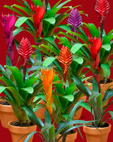 Several epiphytic Bromeliads (Guzmania lingulata), show off their beautiful inflorecences in a rainbow of color at Tula Plants & Design.