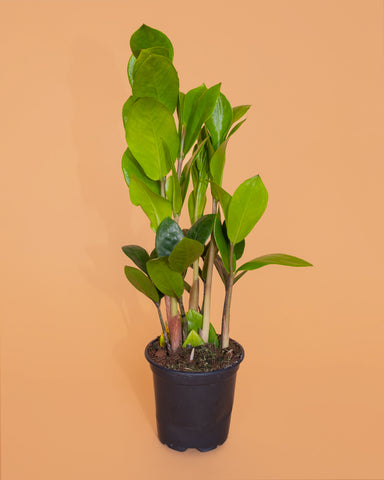 Tula Plants & Design Placeholder Image. Coming Soon!