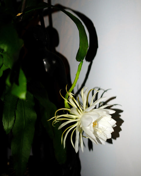 A flowering Epiphyllum Oxypetalum, or night blooming cereus, an epiphytic cactus that flowers at night.
