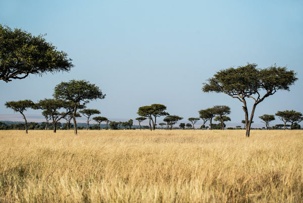 A Savanna biome with dry grass and spotty trees.