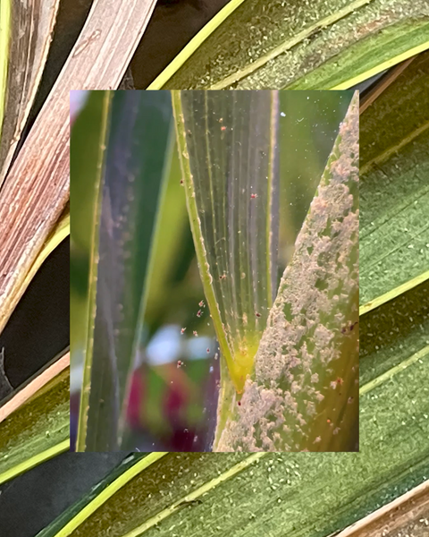 Spot spider mites by their telltale clusters of webbing and dusty brown bodies.