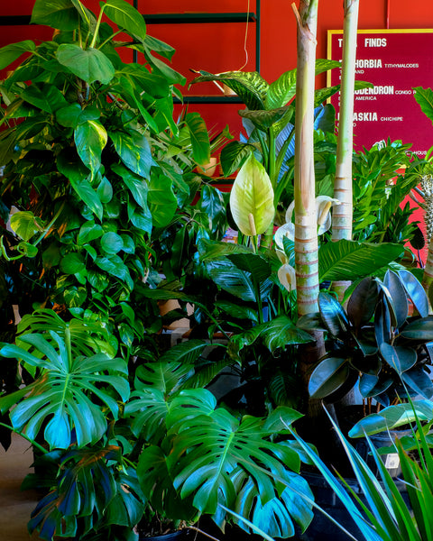 A lush collection of large tropical plants for sale at Tula Plants & Design in Brooklyn.
