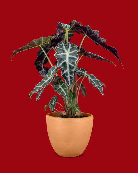 Alocasia Polly, also known as African Mask plant.
