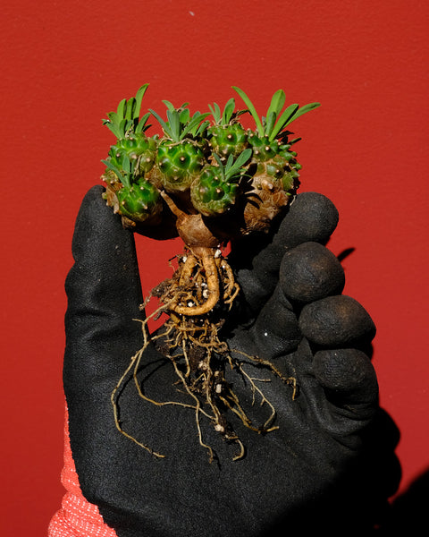 A Euphorbia japonica displayed bare root at Tula Plants & Design.