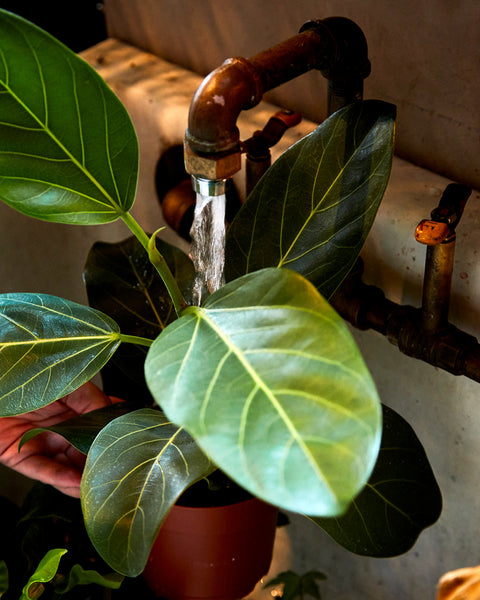 Watering a Ficus audrey at Tula Plants & Design.