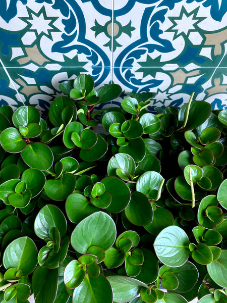 A lush collection of peperomia obtusifolia, an easy care indoor plant, at Tula Plants & Design.