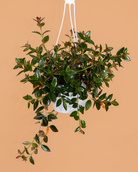 Columnea gloriosa, or goldfish plant, for sale in a 6-inch hanging basket at Tula Plants & Design.
