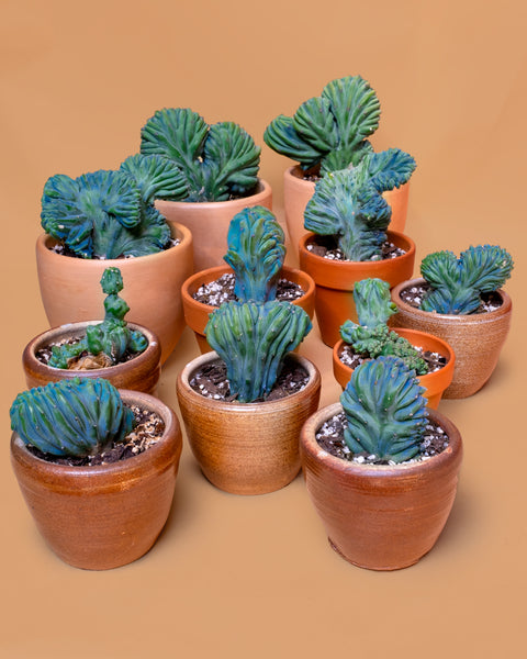 Several Crested Myrtillocactus geometrizans for sale at Tula Plants & Design.