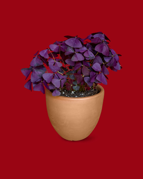 Oxalis triangularis, or false shamrock, paired with a liberty bell terra cotta pot, for sale at Tula Plants & Design.