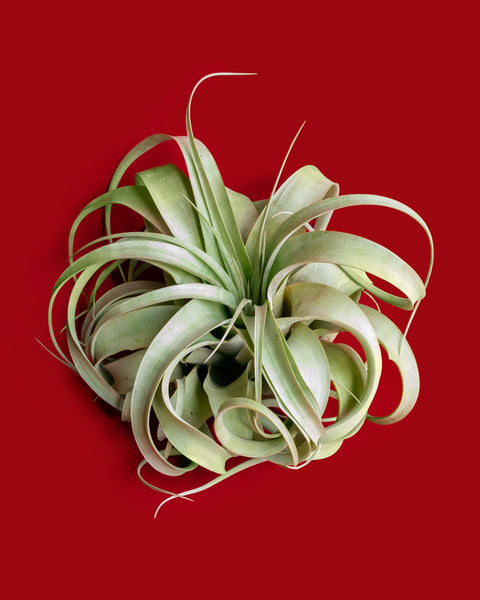 Tillandsia xerographica, an arid air plant and epiphyte, for sale at Tula Plants & Design.