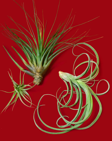 Tillandsia, or Air Plants, arranged in a bouquet and photographed at Tula Plants & Design.