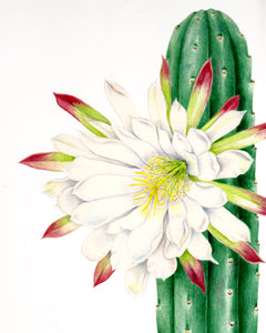 Trichocereus pachanoi - Donna Torres Entheogen Collection