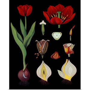 The Great TULIP