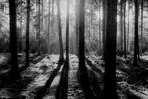 Trees in forest with sun shining black and white sustainability