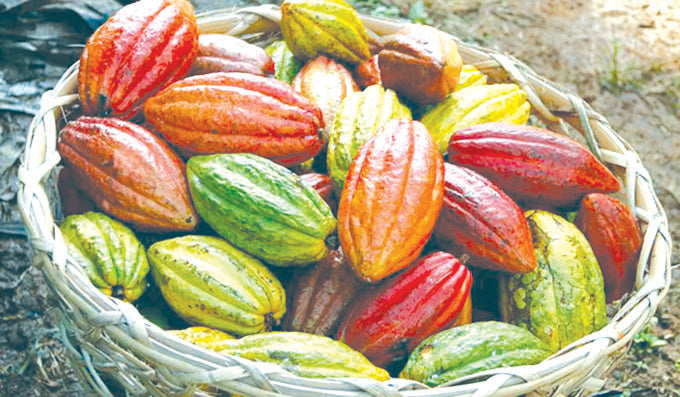 100,000 MT of Cacao by 2022 - PH target increased by 40 percent