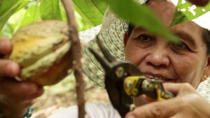 Cagayan Valley Boosts Cacao Industry - Region 2 gearing towards being globally competitive