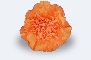 Mandarina Carnations by Colombia Direct