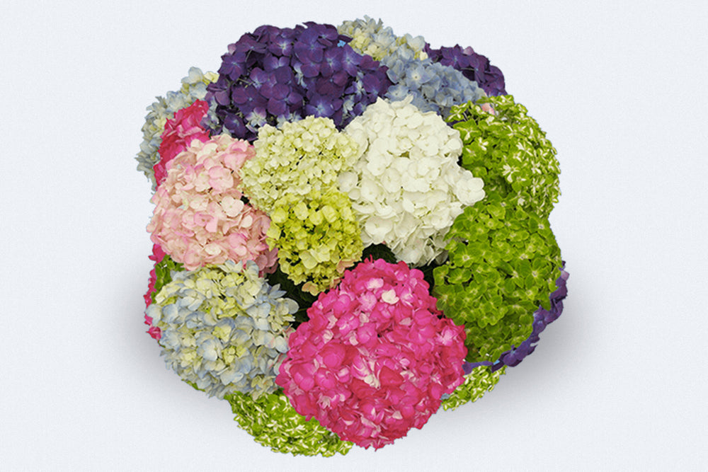 Assorted Hydrangeas Box