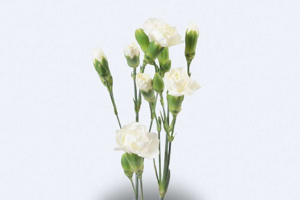 Blanquita Spray Carnations by Colombia Direct
