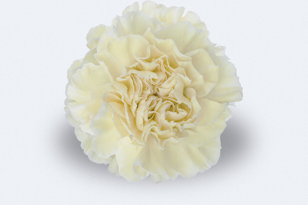 Brisa Carnations by Colombia Direct