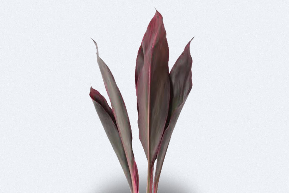 Cordyline Red Top