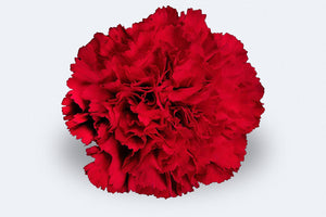 Don Pedro Carnations by Colombia Direct