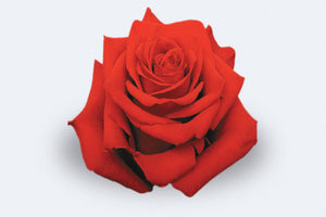 Freedom Roses by Colombia Direct
