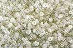 Gypsophila Xlence by Colombia Direct