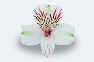 Himalaya Alstroemerias by Colombia Direct