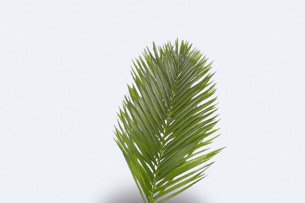 Kentia Palm by Colombia Direct