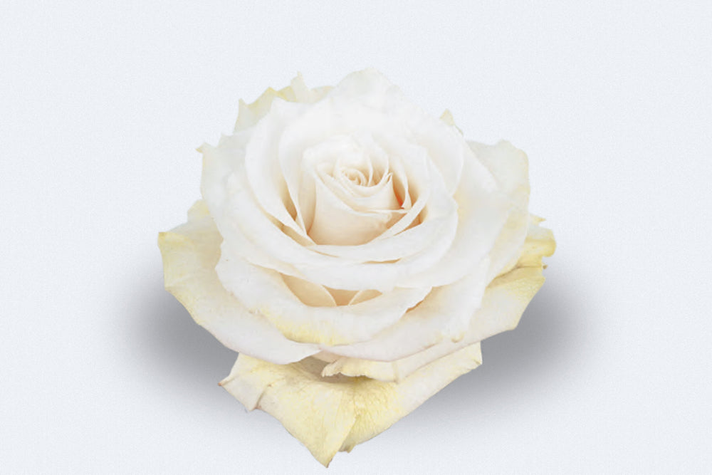 Mondial Roses by Colombia Direct