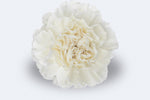 Moon light Carnations by Colombia Direct