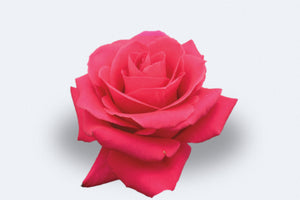 Pink Floyd Roses by Colombia Direct