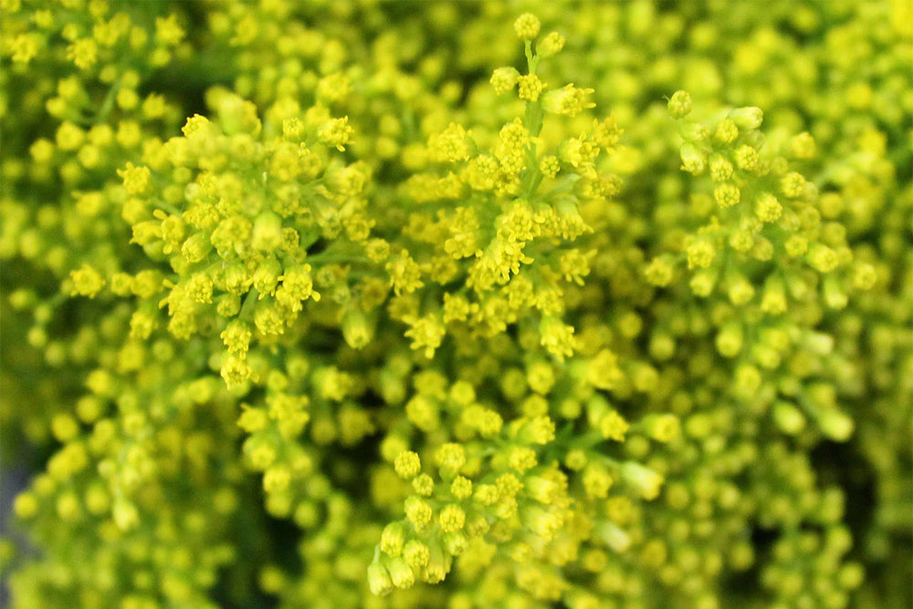 Solidago by Colombia Direct