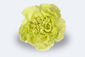 Selva Carnations by Colombia Direct