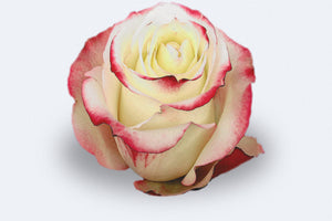 Sweetness Roses by Colombia Direct