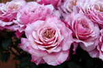 Wabara Garden Roses Assorted Box