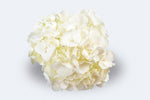 White Hydrangeas by Colombia Direct