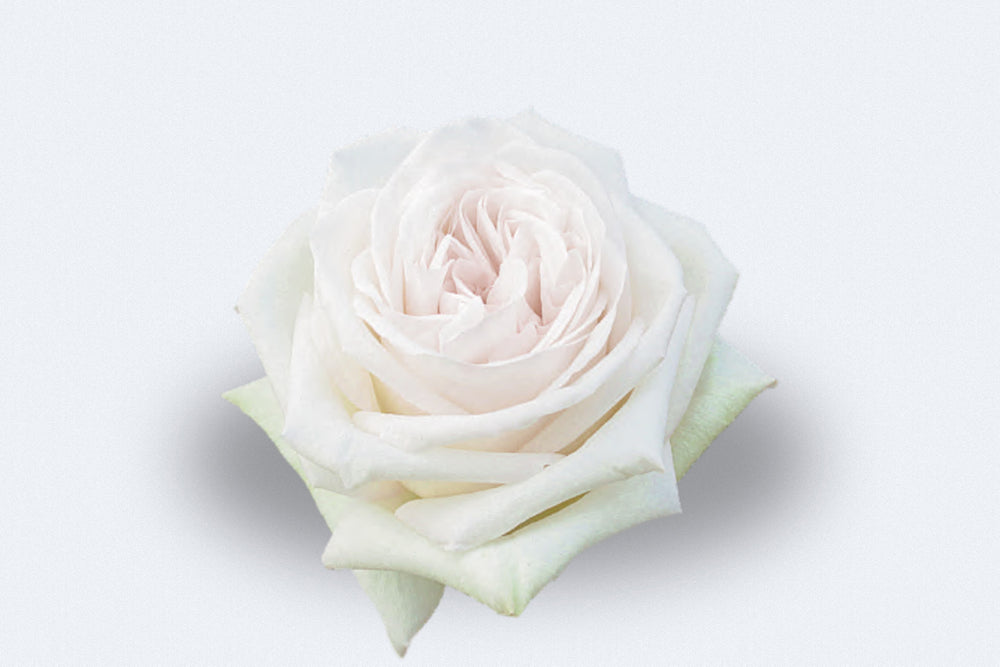 White O'Hara Roses by Colombia Direct